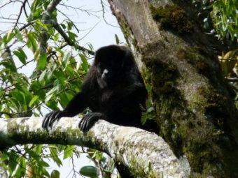Howler Monkey catarata del toro