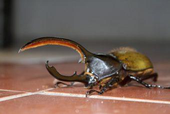Rhino beetle Catarata Del Toro