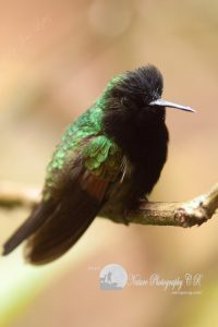 black-bellied hummingbird catarata del toro